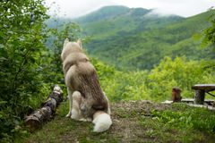 狗品种西伯利亚爱斯基摩人画象在森林里回到照相机坐山背景 免版税库存图片