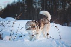 狗品种西伯利亚爱斯基摩人画象开掘在领域的雪 库存图片