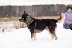 狗品种西伯利亚爱斯基摩人 免版税库存图片