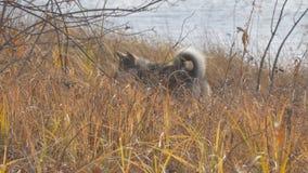 狗品种西西伯利亚Laika在干草寻找 狗捉住老鼠 股票视频