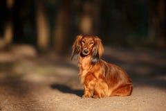 狗品种达克斯猎犬 图库摄影