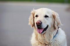 狗品种金毛猎犬 免版税图库摄影