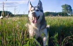 狗品种阿拉斯加的爱斯基摩狗 免版税图库摄影