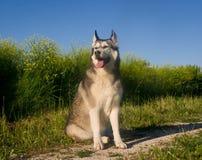 狗品种阿拉斯加的爱斯基摩狗 免版税库存图片