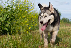 狗品种阿拉斯加的爱斯基摩狗 免版税库存照片