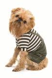 狗品种Bruxellois Griffon 免版税库存照片