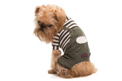 狗品种Bruxellois Griffon 库存照片