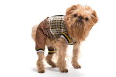 狗品种Bruxellois Griffon 库存图片
