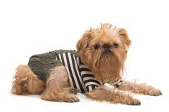 狗品种Bruxellois Griffon 图库摄影
