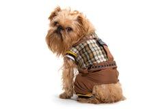 狗品种Bruxellois Griffon 免版税图库摄影