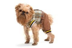 狗品种Bruxellois Griffon 免版税库存图片