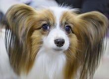 狗品种Papillon大陆玩具西班牙猎狗 免版税库存照片