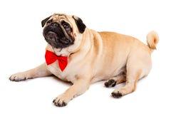 狗哈巴狗 与一个红色蝶形领结的逗人喜爱的小犬座在白色背景说谎 库存照片