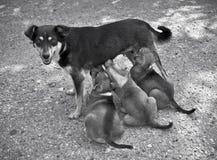 狗喂养小狗 免版税库存照片