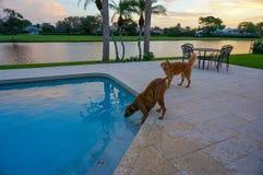 狗喝在游泳池外面在与棕榈树的日落 免版税图库摄影