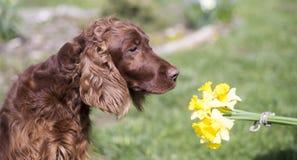 狗嗅到的花 库存照片