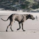 狗嗅到的鱼 免版税库存照片