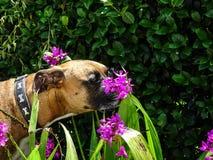 狗嗅到紫色花 库存图片