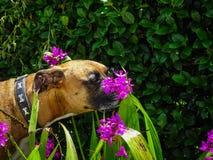 狗嗅到紫色花 免版税库存照片