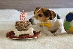 狗嗅蛋糕在他的第六个生日 免版税库存照片