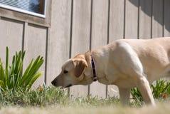 狗嗅 免版税库存图片