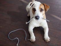 狗嚼了导线 库存照片