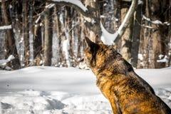 狗在一个多雪的森林里 库存照片