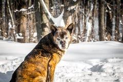 狗在一个多雪的森林里 免版税图库摄影