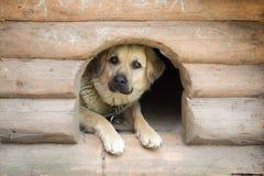 狗在一个木狗窝 免版税图库摄影