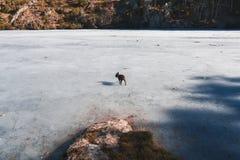 狗在一个冻湖 免版税库存照片