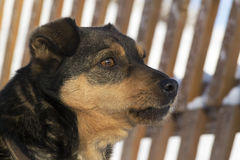 狗在冬天 图库摄影
