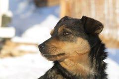 狗在冬天 库存照片