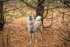 狗在冷杉森林里 图库摄影
