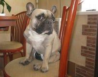 11 07 2014年 狗在厨房里 法国牛头犬 库存照片