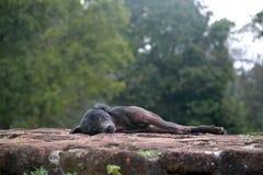 狗在古老废墟睡觉 免版税库存照片