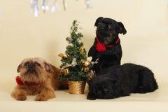 狗在圣诞树旁边的Griffon Bruxellois 库存图片