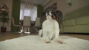 狗在地毯的Papillon谎言在客厅股票英尺长度录影看并且跑  股票录像