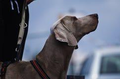 狗在城市 免版税库存照片