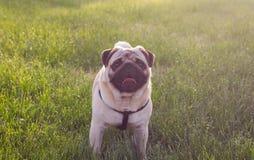 狗在夏天公园擦在自然的戏剧在一棵草 库存图片