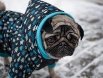 狗在夹克的品种哈巴狗 可爱的狗 免版税库存照片