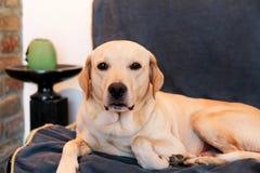 狗在家休息 黄色拉布拉多猎犬狗放置 免版税库存照片