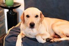 狗在家休息 黄色拉布拉多猎犬狗放置 库存照片