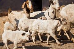 狗在山羊之间牧群漫游 免版税库存照片