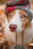 狗在帽子的秋天公园 免版税库存照片