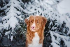 狗在户外冬天,新斯科舍鸭子敲的猎犬,在森林里 库存图片