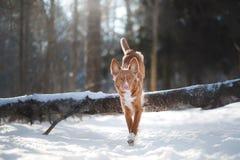 狗在户外冬天,新斯科舍鸭子敲的猎犬,在森林里 免版税库存图片