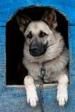 狗在房子里 免版税库存图片