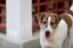 狗在房子里 免版税库存照片