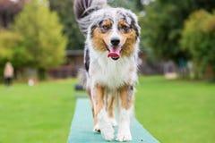 狗在敏捷性parcours的板条走 库存图片