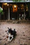 狗在斯里兰卡的森林里守卫一个房子的入口 免版税库存图片